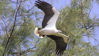 Whitebellied Sea Eagle