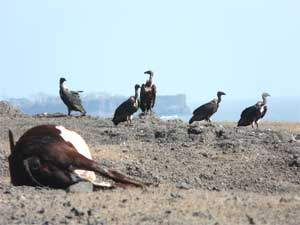 Vultures near carcasses